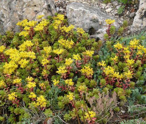 Produktbild Sedum floriferum 'Weihenstephaner Gold'