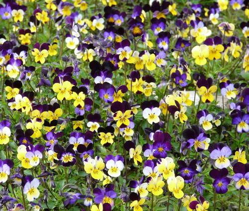 Produktbild Viola tricolor