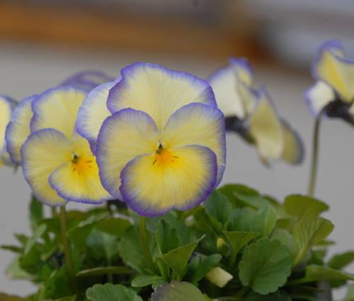 Produktbild Viola cornuta 'Etain'