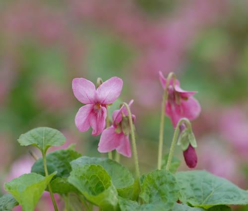 Produktbild Viola odorata 'Coeur d'Alsace'