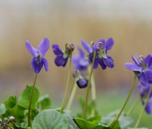 Produktbild Viola odorata 'Donau'
