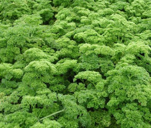 Produktbild Saatgut: Petersilie 'Grüne Perle'