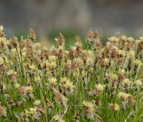 Produktbild Carex montana