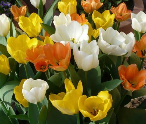 Produktbild Tulpenpaket Faszination