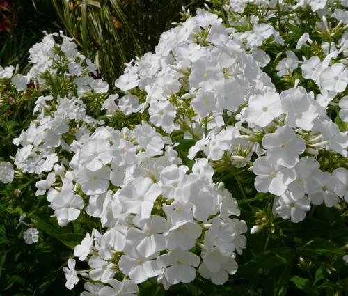 Produktbild Phlox amplifolia 'Waupee'