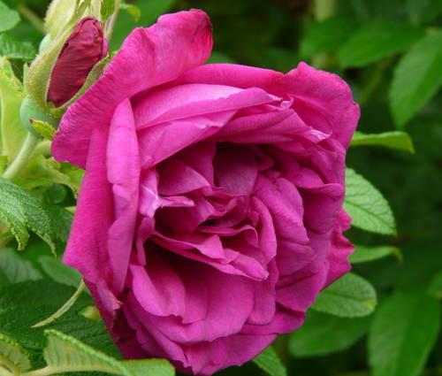 Produktbild Rosa rugosa 'Roseraie de l'Hay'