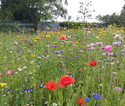 Produktbild Saatgut: Sommerblumenmischung Gönninger SommerPracht für 100 m²