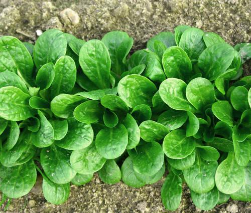 Produktbild Saatgut: Feldsalat 'Vit'