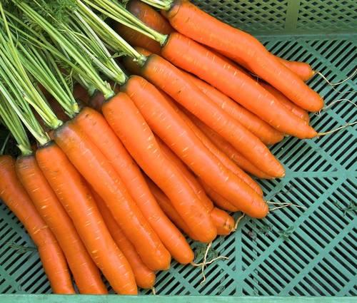 Produktbild Saatgut: Möhre 'Rodelika'