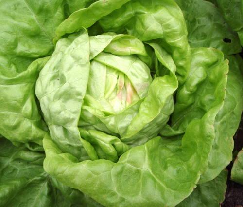 Produktbild Saatgut: Kopfsalat 'Maikönig'