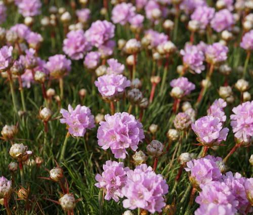 Produktbild Armeria Juniperifolia-Hybride 'Röschen'