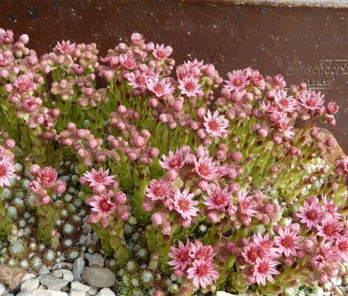 Produktbild Sempervivum arachnoideum ssp. tomentosum