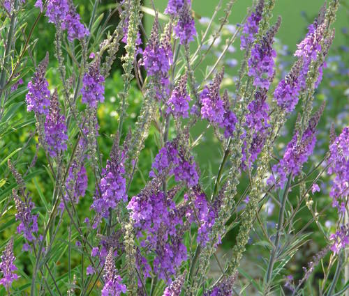 Produktbild Linaria purpurea