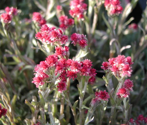 Produktbild Antennaria dioica 'Rotes Wunder'