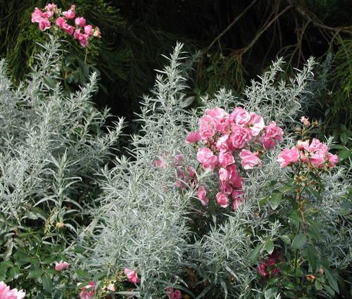Produktbild Artemisia ludoviciana var. albula 'Silver Queen'