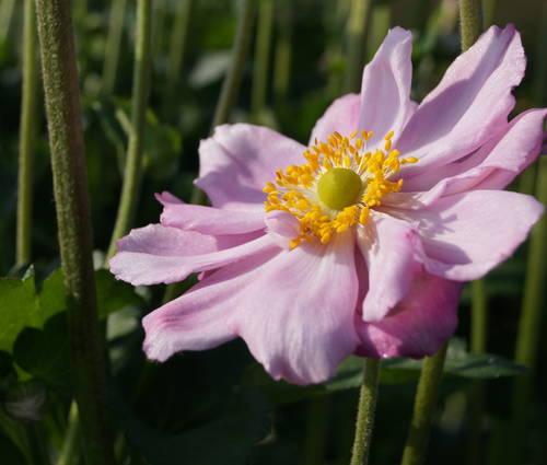 Produktbild Anemone Japonica-Hybride 'Königin Charlotte'