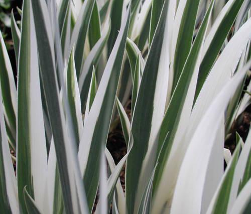 Produktbild Iris pallida 'Argentea Variegata'
