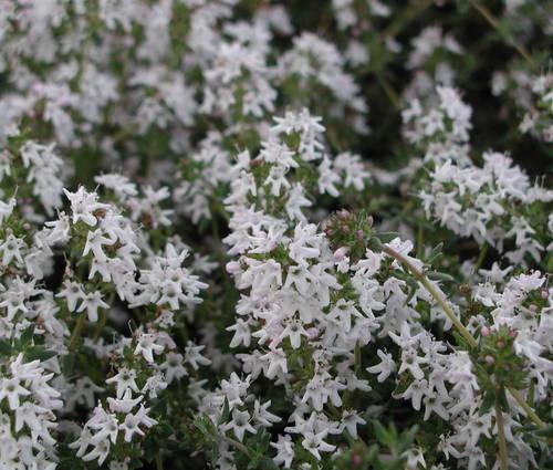 Produktbild Thymus vulgaris ssp. fragrantissimus
