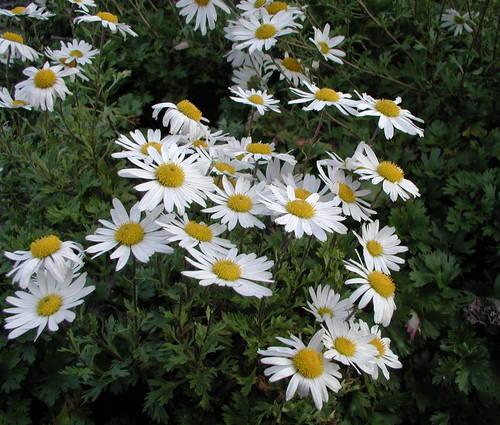 Produktbild Arctanthemum arcticum