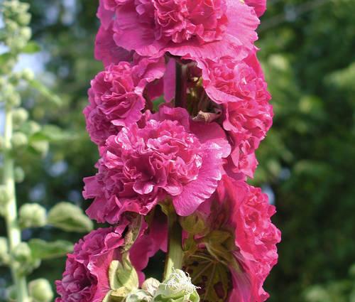 Produktbild Alcea rosea plena 'Chaters Violett'