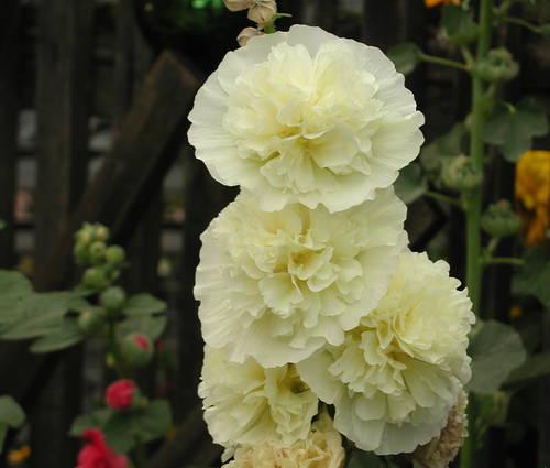 Produktbild Alcea rosea plena 'Chaters Gelb'