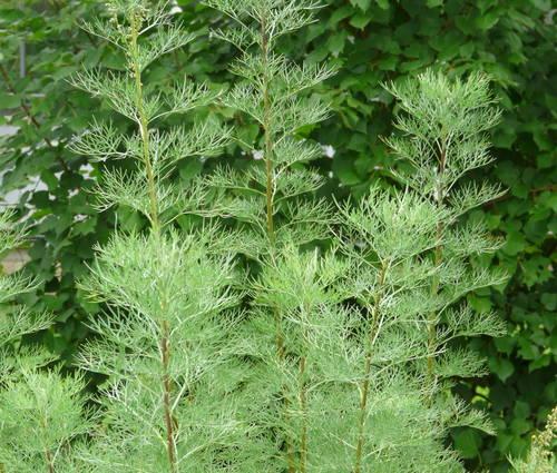 Produktbild Artemisia abrotanum