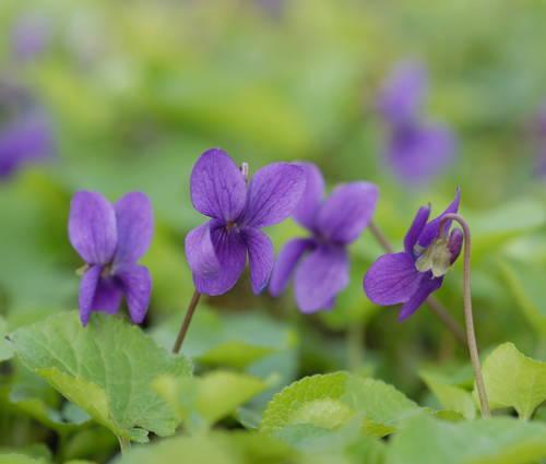 Produktbild Viola odorata 'Baronne Alice de Rothschild'