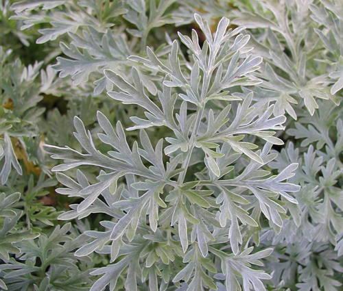 Produktbild Artemisia absinthium