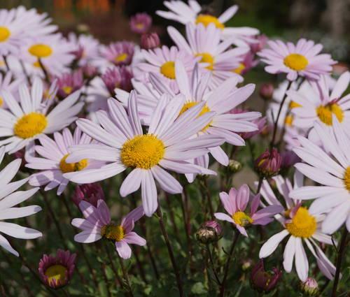 Produktbild Arctanthemum arcticum 'Roseum'