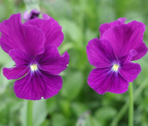 Produktbild Viola cornuta 'Roem van Aalsmeer'