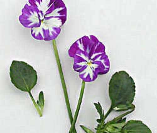 Produktbild Viola cornuta 'Rebecca'