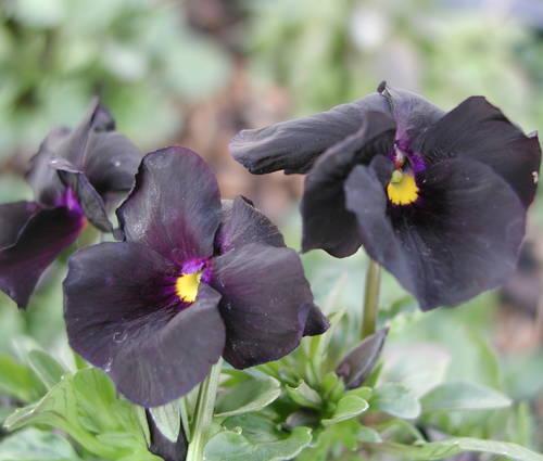 Produktbild Viola cornuta 'Molly Sanderson'