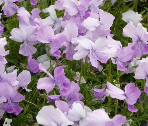 Produktbild Viola cornuta 'Dolphin'