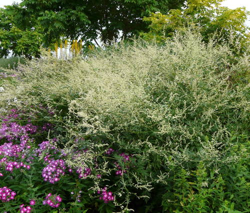 Produktbild Artemisia lactiflora 'Weiße Dame'