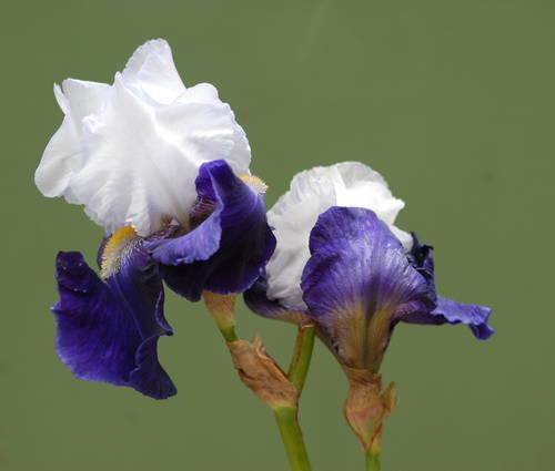 Produktbild Iris barbata-elatior 'Night Edition'