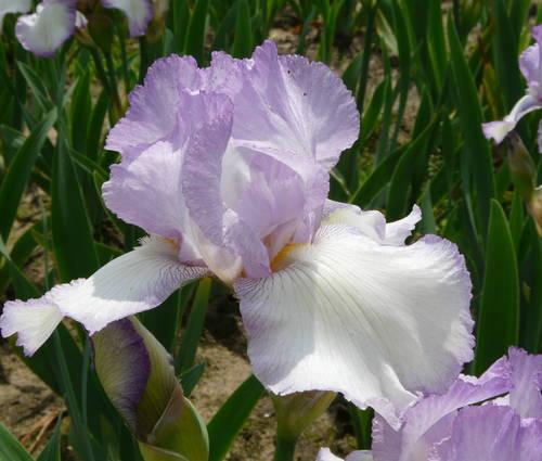 Produktbild Iris barbata-elatior 'Rippled Rose'
