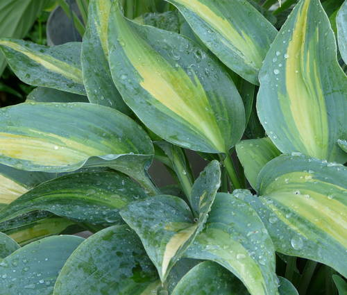 Produktbild Hosta Hybride 'Touch of Class' ®