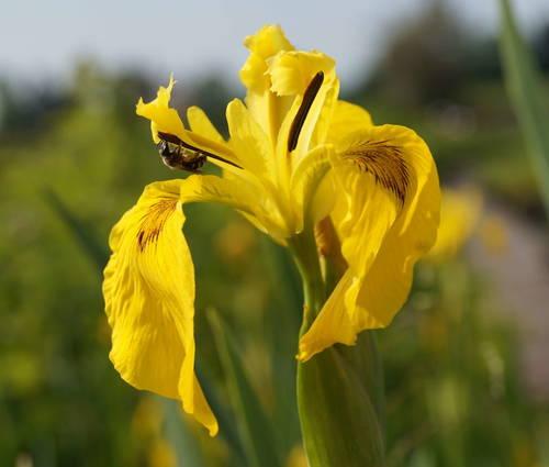 Produktbild Iris pseudacorus