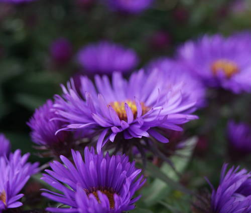 Produktbild Aster novae-angliae 'Purple Dome'