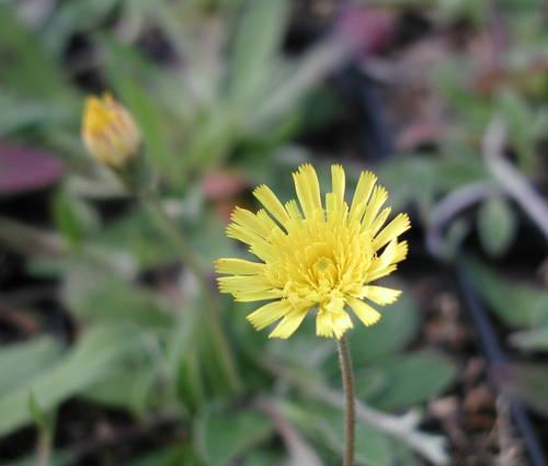 Produktbild Hieracium pilosella 'Niveum'