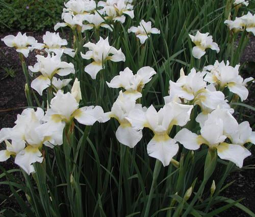 Produktbild Iris sibirica 'Viel Schnee'