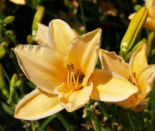 Produktbild Hemerocallis Hybride 'Melonencocktail'