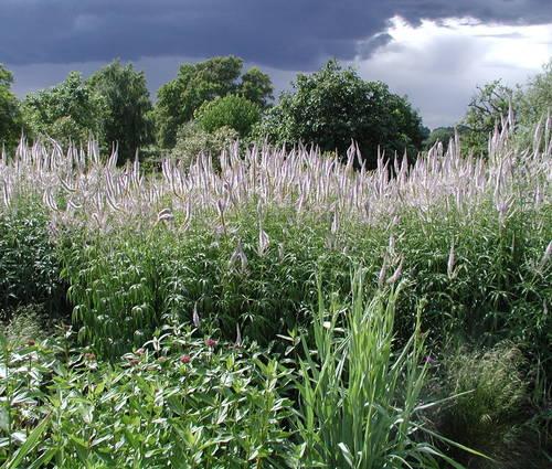 Produktbild Veronicastrum Hybride 'Lavendelturm'