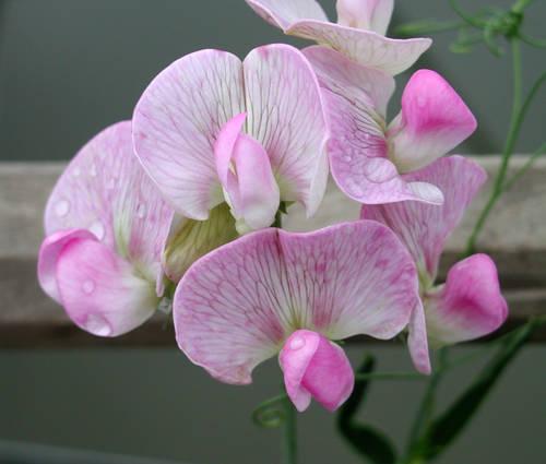 Produktbild Lathyrus latifolius 'Rosa Perle'