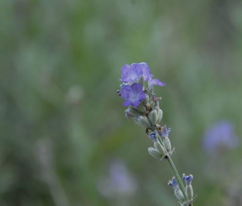 Produktbild Lavandula angustifolia 'Blue Ice'