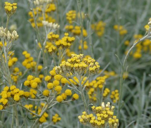 Produktbild Helichrysum italicum 'Silbernadel'
