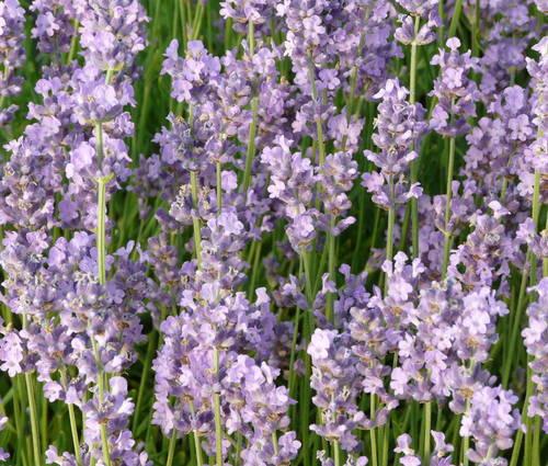 Produktbild Lavandula angustifolia 'Melissa Lilac'