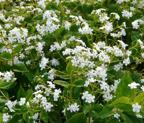 Produktbild Brunnera macrophylla 'Betty Bowring'
