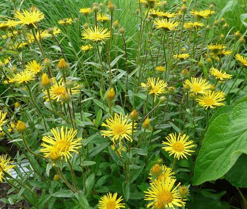 Produktbild Buphthalmum salicifolium