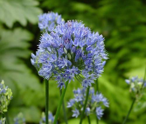 Produktbild Allium caeruleum